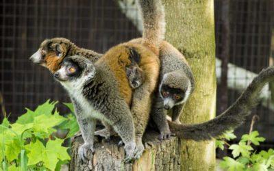 Vzácní lemuři mongoz v Zoo Ostrava mají druhé mládě