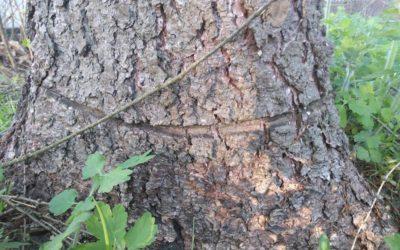 V Rýmařově kdosi úmyslně poškodil stromy