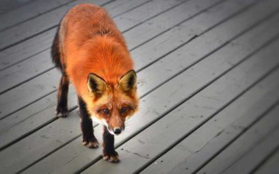 Lišku vyhnali zpět do přírody