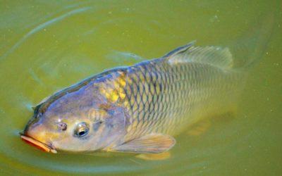 Opatření proti šíření Koi herpes virus na Petrově rybníce v Krnově zafungovala